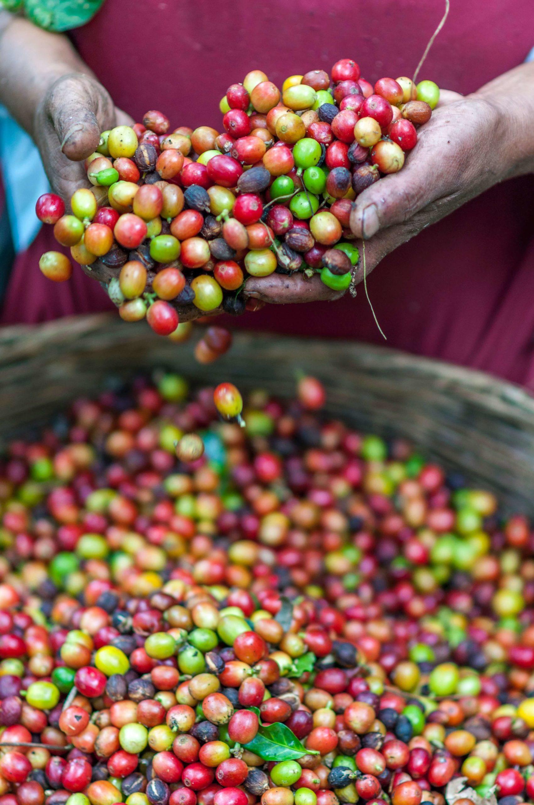 graines café frais pour un exfoliant naturel de qualité