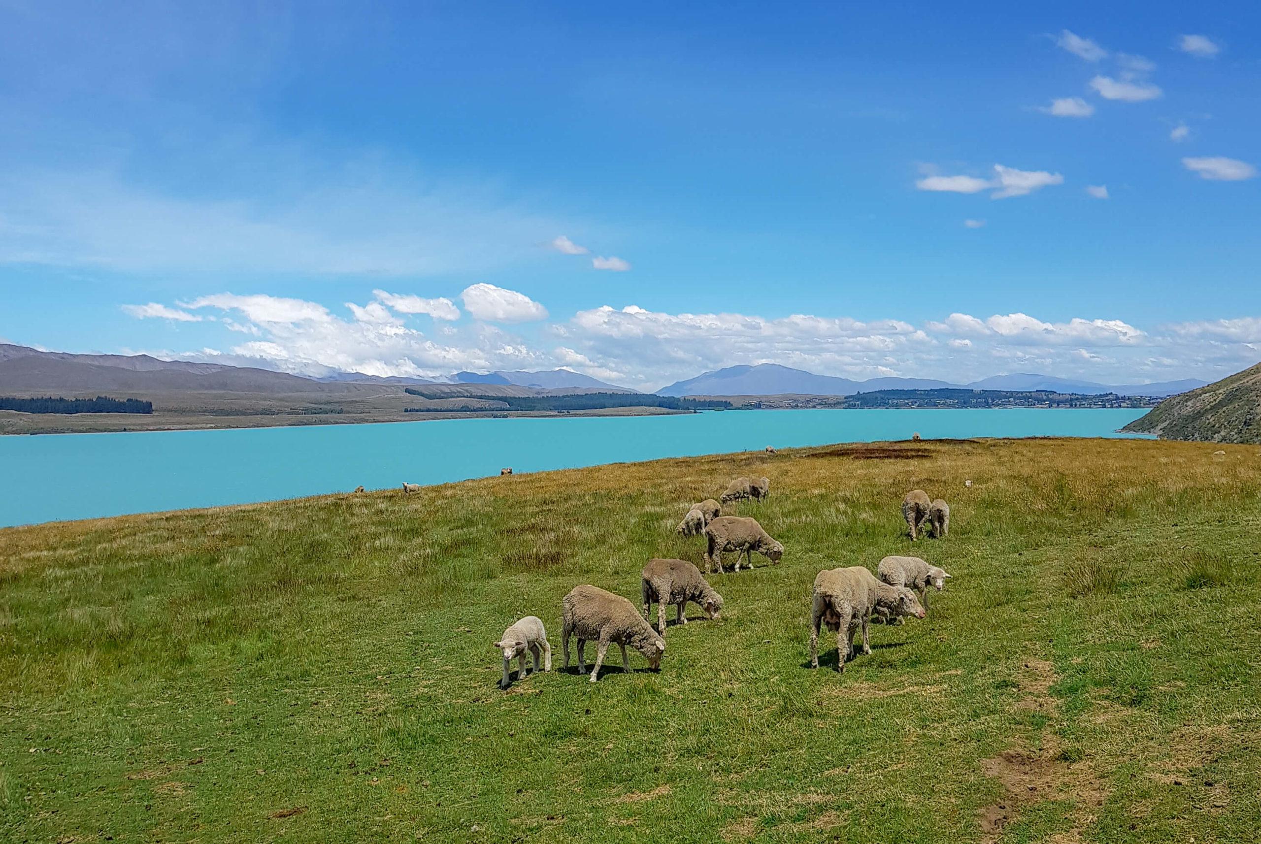 randonnée lac Tekapo au milieu des moutons