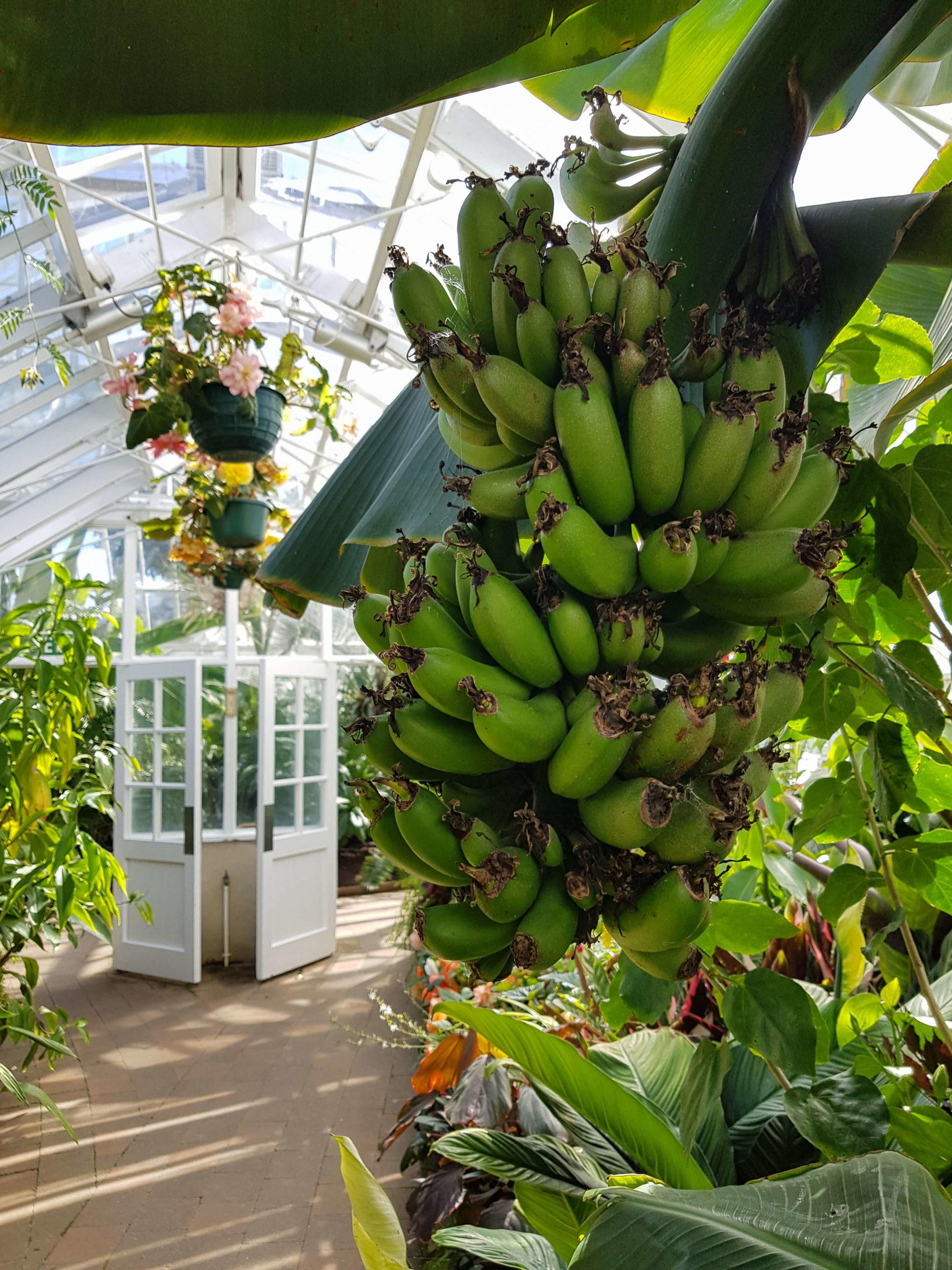 Bananes serre tropicale jardin botanique Dunedin