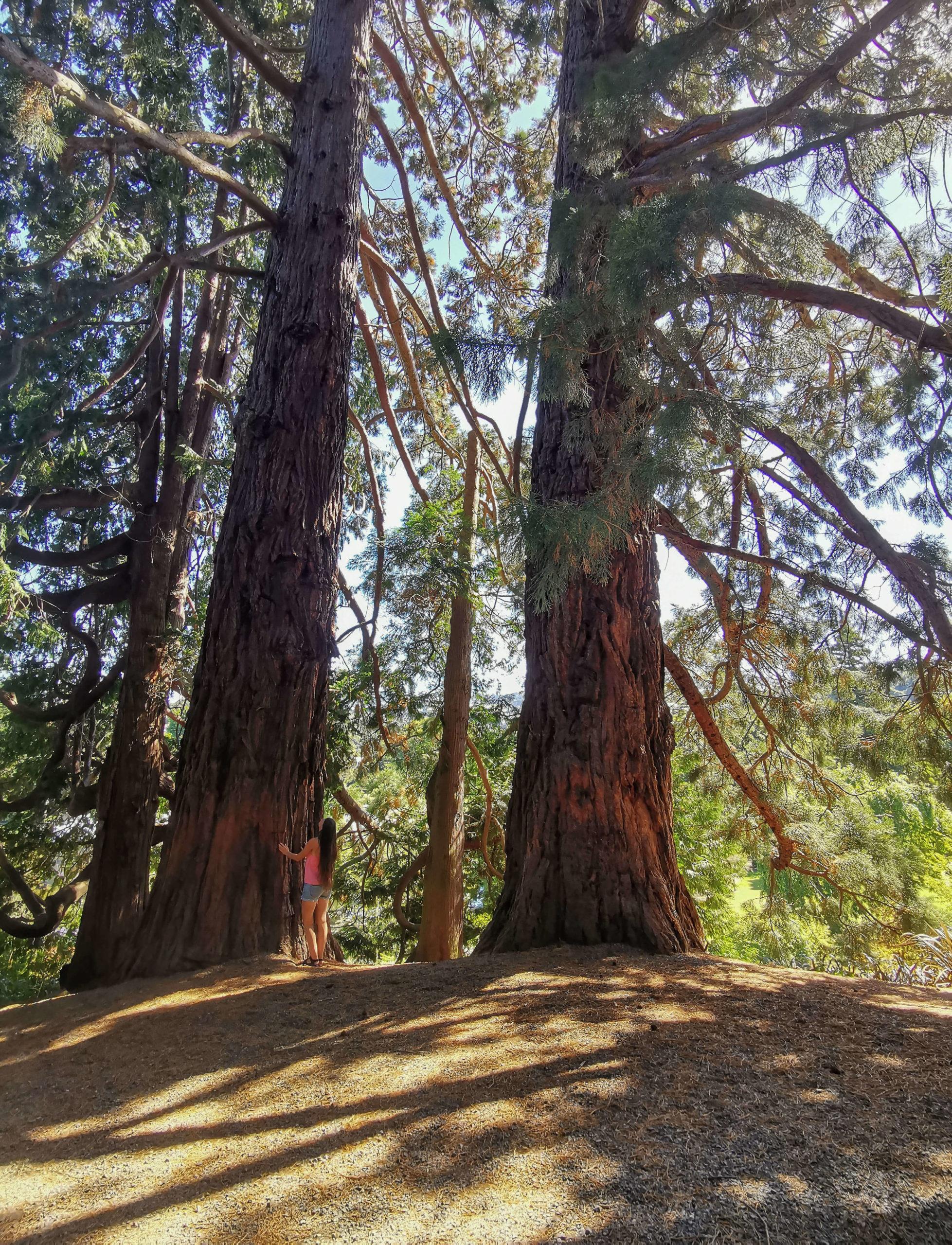 Meeriwild séquoia jardin botanique Dunedin