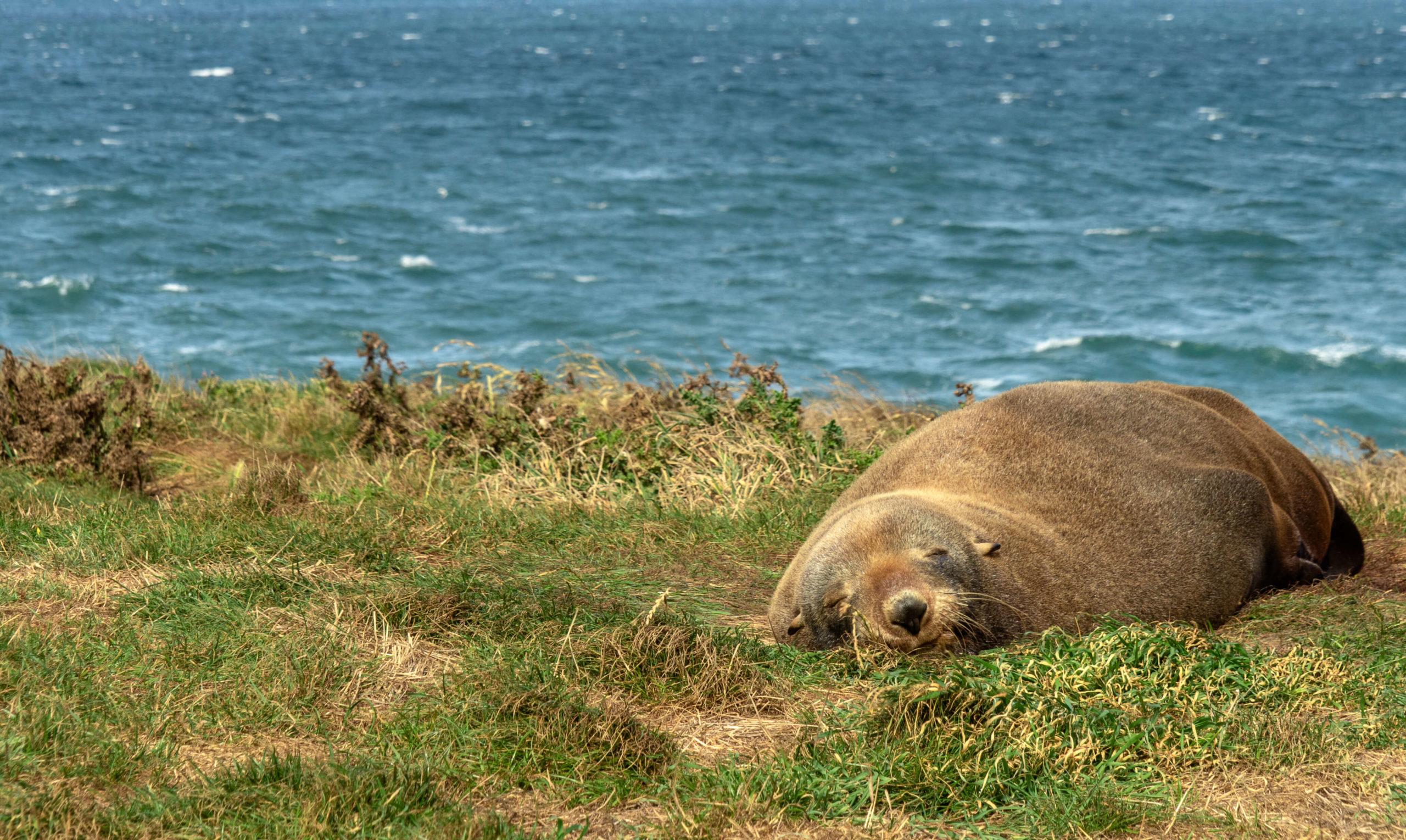 Otarie endormie Kakiti point Nouvelle-Zélande