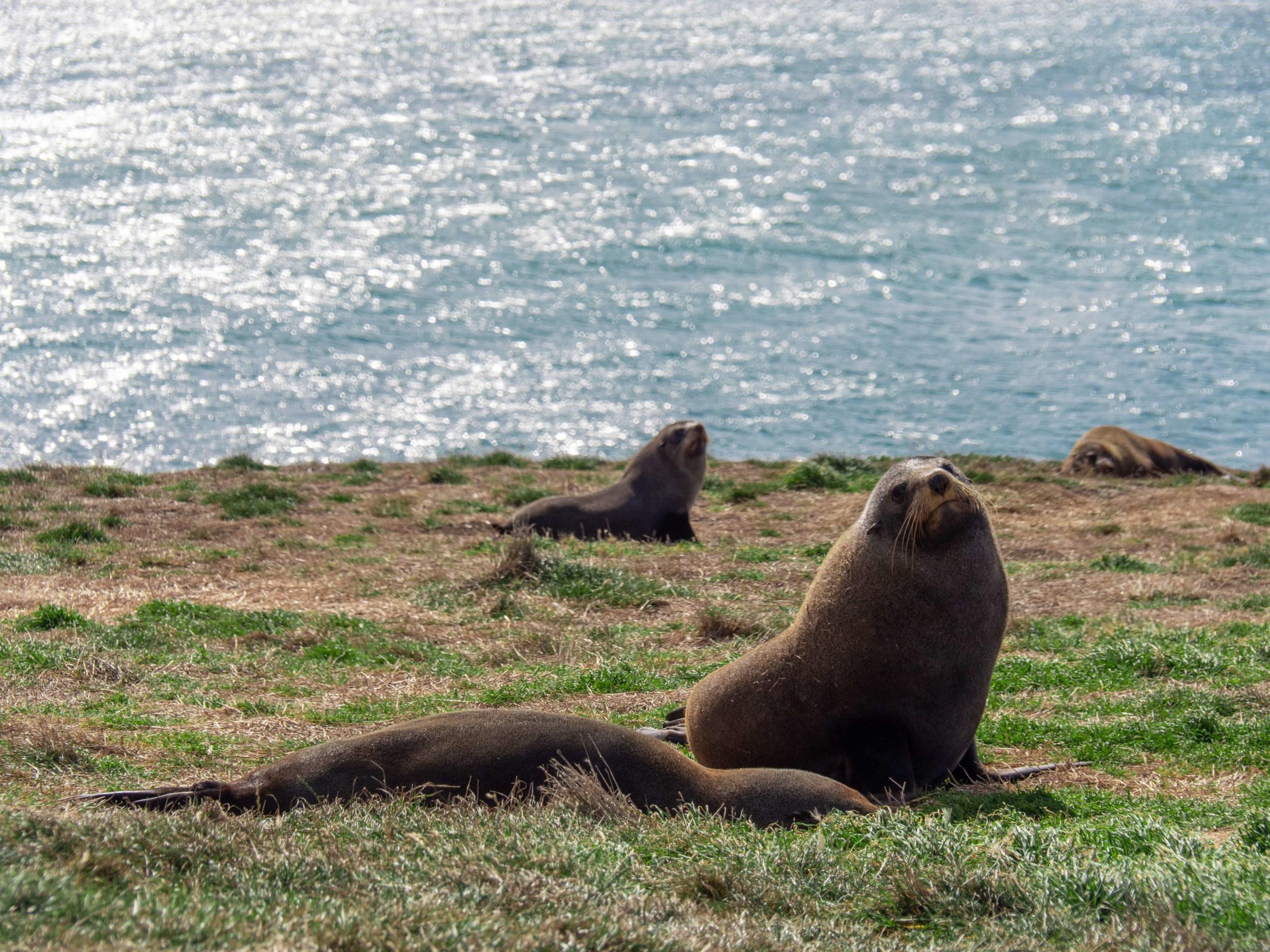 Otaries endormies Kakiti point Nouvelle-Zélande