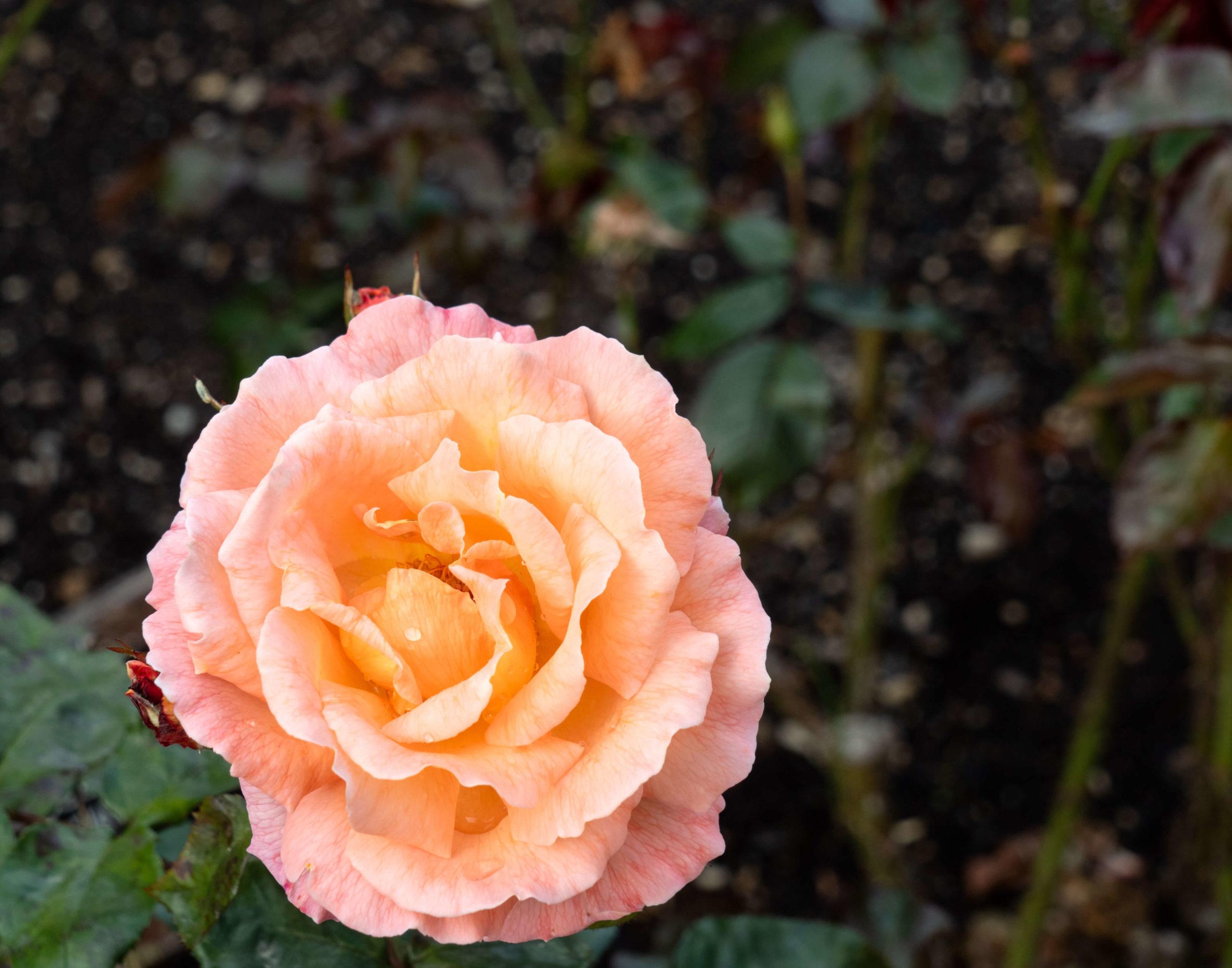 Rose jardin botanique Dunedin