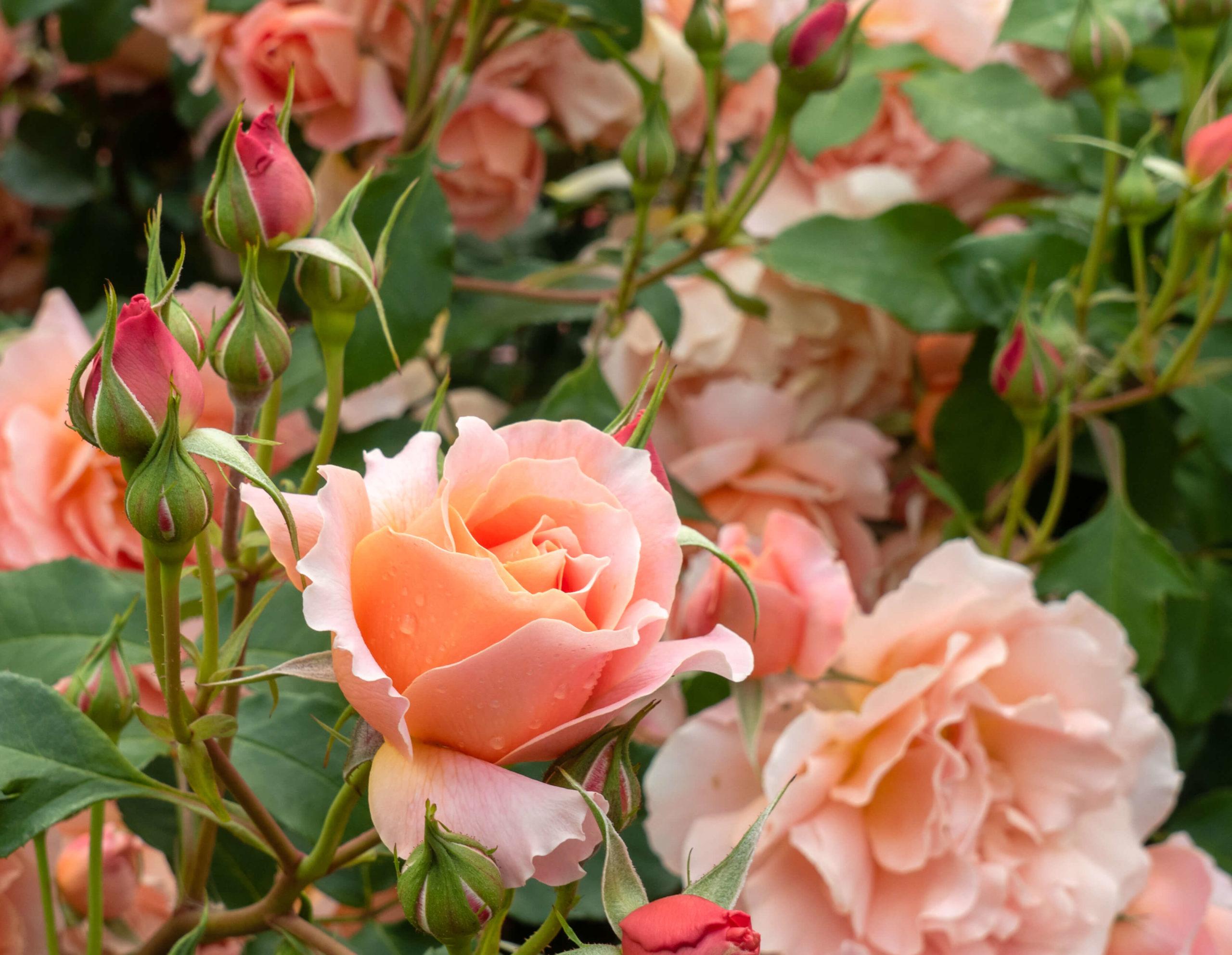 Roses bosquet jardin botanique Dunedin