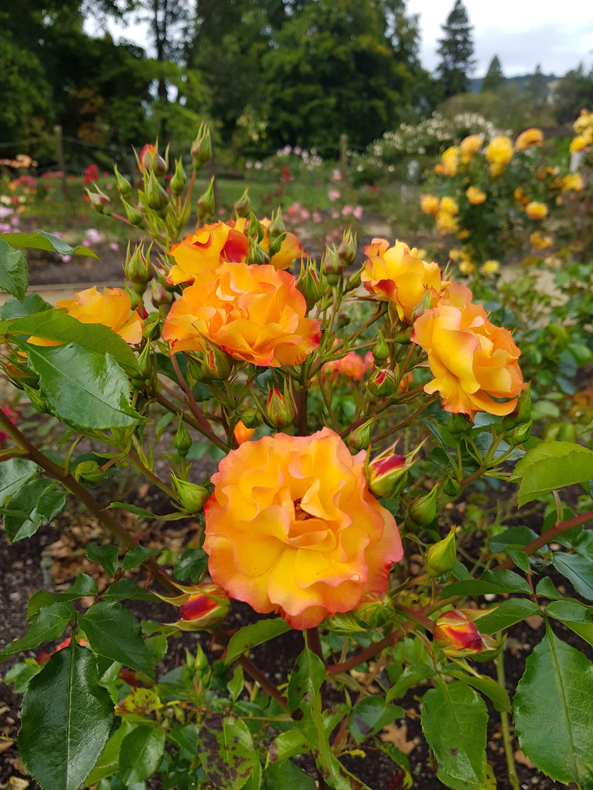 Roses oranges jardin botanique Dunedin