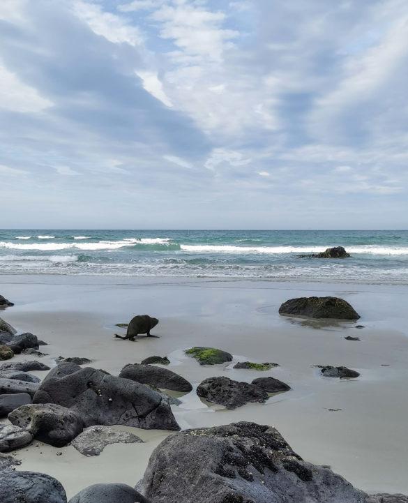 Otarie retournant à l'eau sur la plage Aramoana beach Nouvelle-Zélande